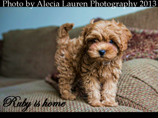 Cavapoo poo and CavaMaltipoo Puppies are available now